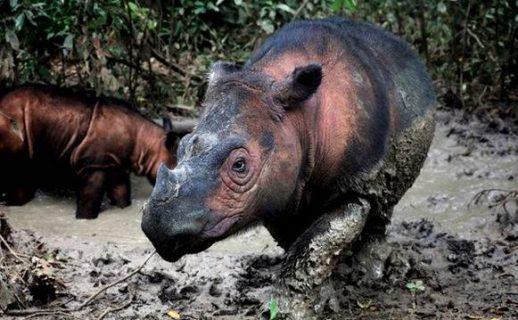 extinción - Rinoceronte de Sumatra (Dicerorhinus sumatrensis) - Rhett A. Butler