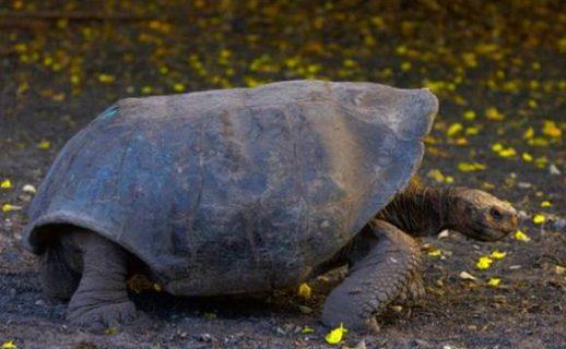 Extinción - Tortuga gigante española (Chelonoidis hoodensis) - GC