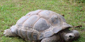giant-tortoise-reptiles-animals