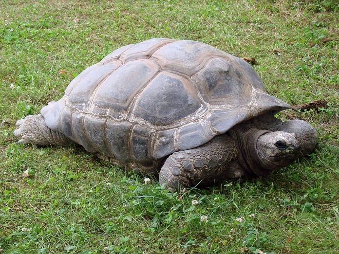 giant-tortoise-reptiles-animals