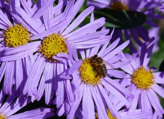 nature-flowers-bee-pollinator-garden-natural